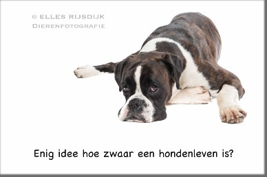 Boxer Land of Freedom's Double Trouble