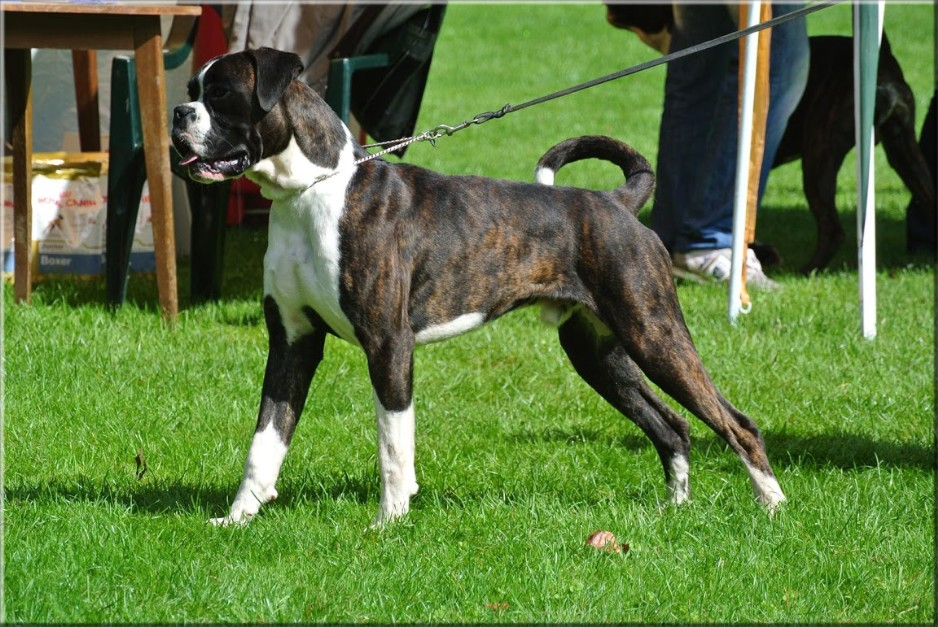 Land of Freedom's Double Trouble, Deutscher Boxer